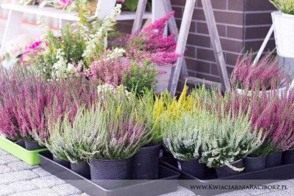 kwiaty doniczkowe raciborz (1)
