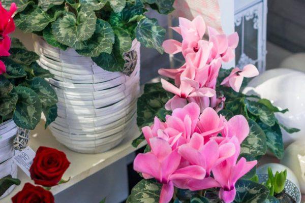 kwiaty doniczkowe raciborz (2)