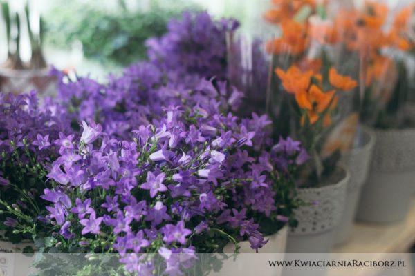 kwiaty doniczkowe raciborz (5)