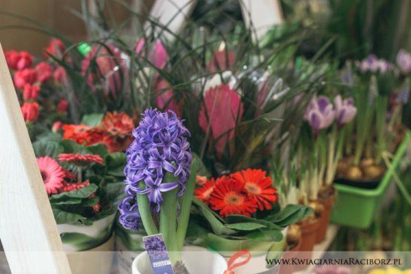 kwiaty doniczkowe raciborz (6)